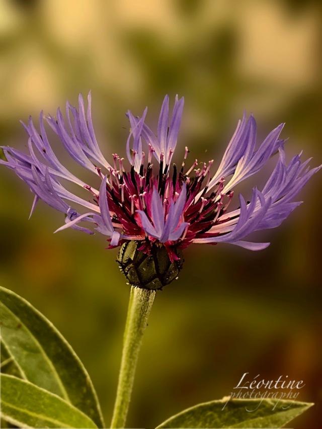 paarsebloem copy