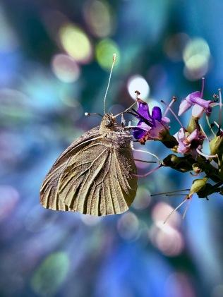 vlinderasif 2