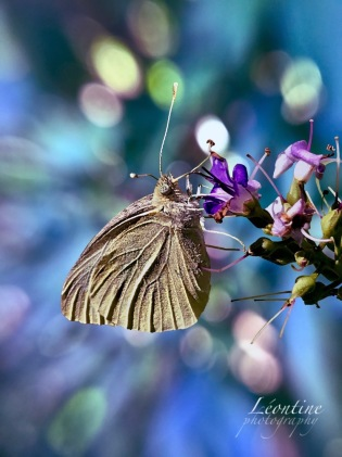 vlinderasif 2 copy